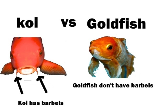 Can Mollies Eat Goldfish Food