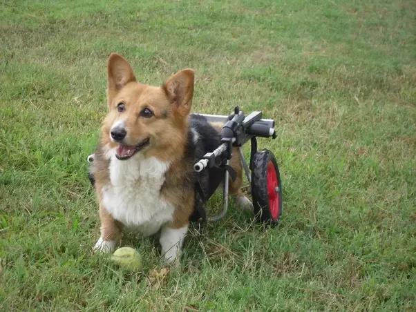 Small Dog Wheel