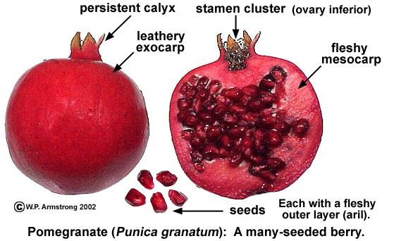 What Is Aril Fruit Quora