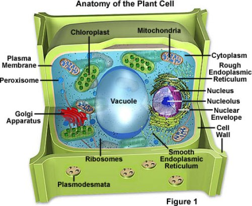 How are the ten organelles in plant cells defined quora 10 chloroplast where photosynthesis takes place ccuart Choice Image