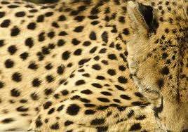 Difference between cheetah and leopard print