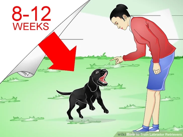 Train My Labrador So That It Remains