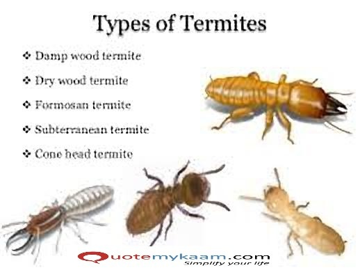 Where can I find termites? - Quora