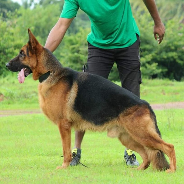 Long Coat German Shepherd Puppies For Sale In Delhi 09999039993 Kci Registered Pupps For Sale Delhi Youtube