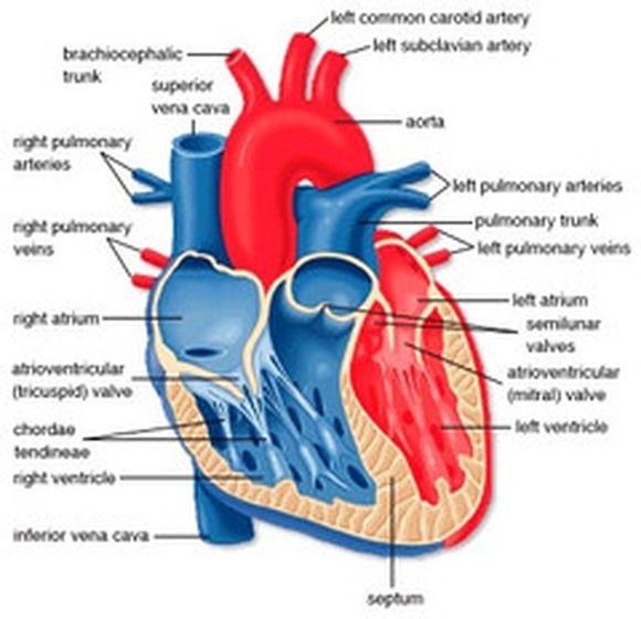 Why does the heart need a good supply of oxygen quora and should there be an issue with the heart getting enough oxygen from the hemoglobin in your blood its cells will start dying and you will go into ccuart Image collections