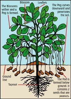 Do peanuts grow on trees quora many people are surprised to learn that peanuts do not grow on trees like pecans or walnuts peanuts are legumes not nuts the peanut plant is unusual ccuart Image collections