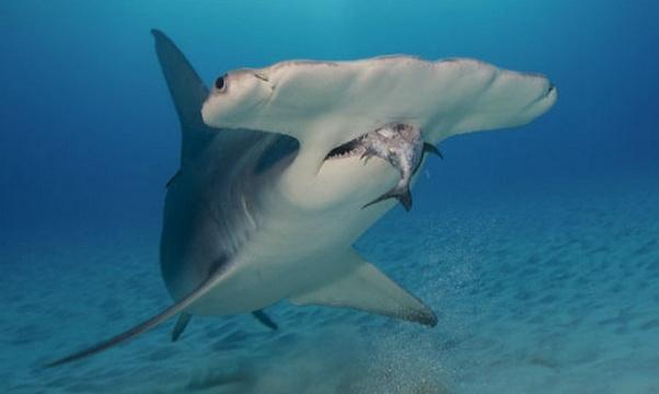 what is a hammerhead sharks diet
