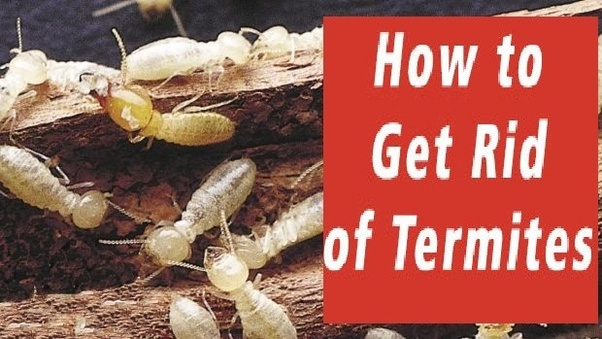 How hard is it to get rid of termites? - Quora