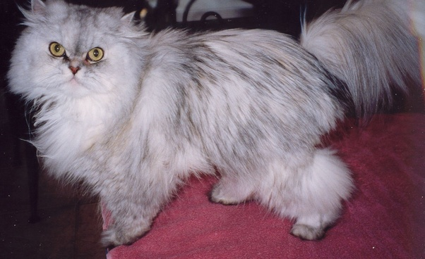 What Would Be The Colour Of The Kittens Whose Father Is A Grey Persian And Mother Is A White Persian Quora