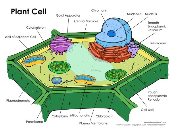 What is a plant cell quora the cell contains various parts like golgi apparatus nucleus mitochondria and so on these parts are called organelles now the cell is like a city and ccuart Choice Image