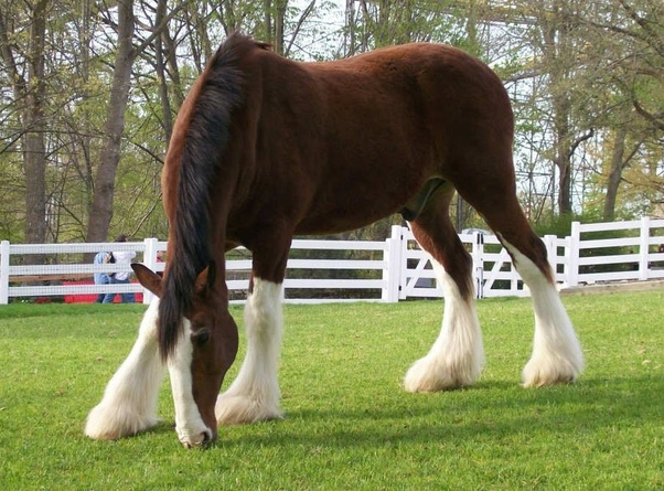 How much does it cost to buy and care for a Clydesdale horse