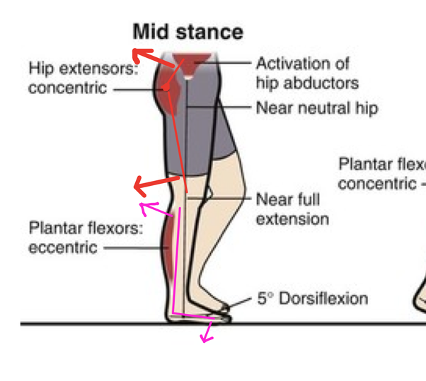 What Muscle Prevents Knee Hyperextension Quora