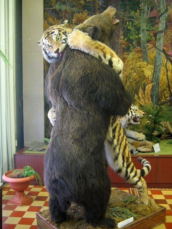 Who Would Win Between A Siberian Tiger And A Grizzly Bear