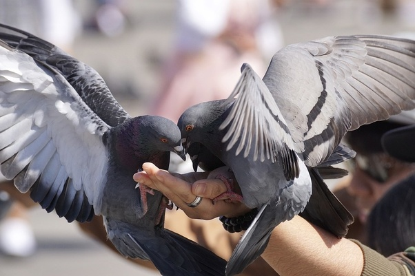 How to sex a pigeon