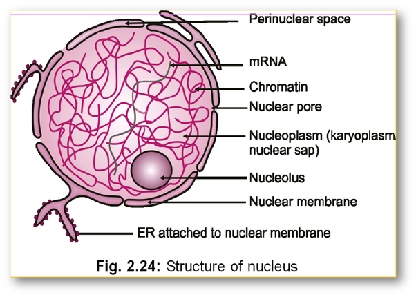 in an animal cell what does the nucleus do quora