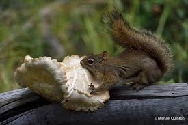 I Have Read That Red Squirrels Will Indeed Eat Poisonous Mushrooms But Often Test Them First This Guy Has A One Though It Looks Like Non Toxic