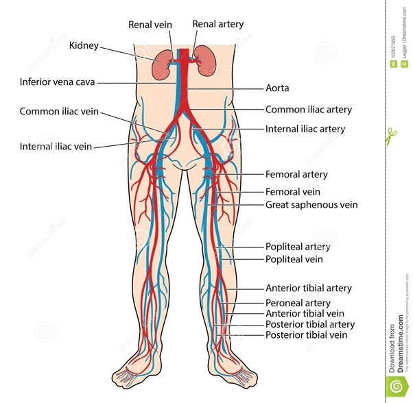 Thigh Muscle Vein Diagram - Block And Schematic Diagrams •