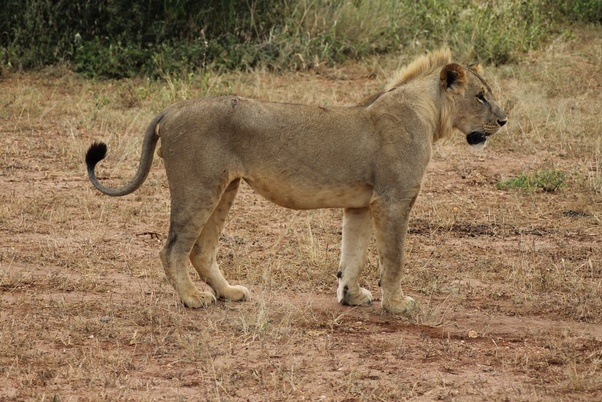 What Is The Feminine Gender Of A Lion Quora