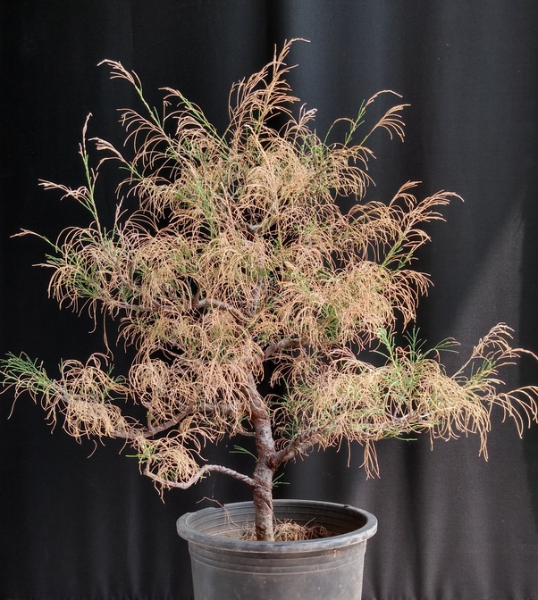What Is The Best Way To Revive A Bonsai If Dried Out Quora