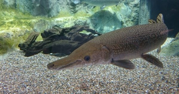 Picture Of A Gar Fish | What Should Anyone Do If An Alligator Gar Fish Attacks Quora