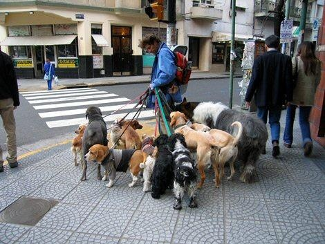 Here Are Some Dog Walkers In Manhattan You Can See The Variety Of Breeds That Do Fine City With No Yards To Speak So Long As They Given