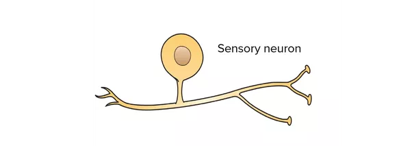 How do brain cells carry out their functions quora simple diagram of a sensory neuron showing that it has just one process that leaves the cell body which subsequently splits in two forming one process ccuart Gallery