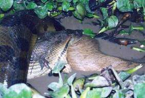 Aninimal Book: How wide does an anaconda's mouth stretch? - Quora