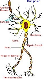 What are the different types of nerve cells? - Quora
