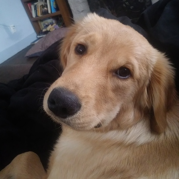How Long Do Golden Retriever Puppies Bite For? Do They