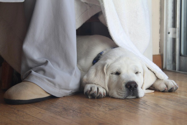 What Is The Cost Of A White Labrador Dog Quora