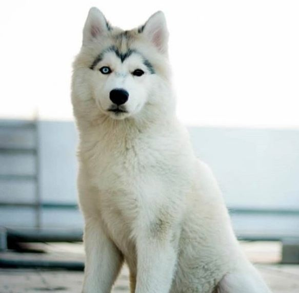 Siberian Husky With Heterochromia Eyes