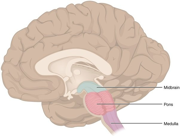 Can you name the most important part of the human brain quora for those not familiar with the cerebral anatomy this is where the brainstem is located for clarity the brainstem consists of the midbrain pons ccuart Image collections