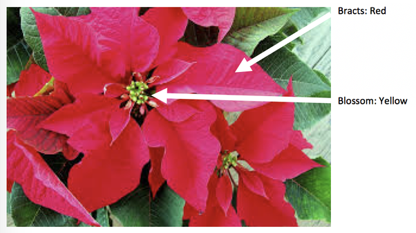 Horticulture what shrub has green leaves that turn into red flowers the flowers of the poinsettia are small relatively inconspicuous and yellow and appear in the center of the bracts mightylinksfo