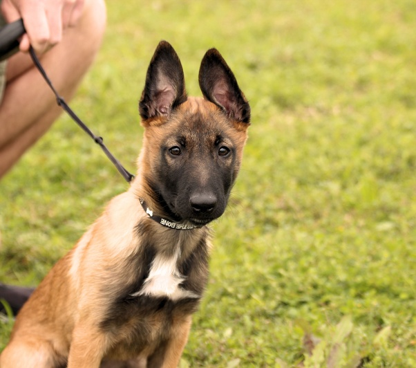 do i have a german shepherd or a belgian malinois see comments for