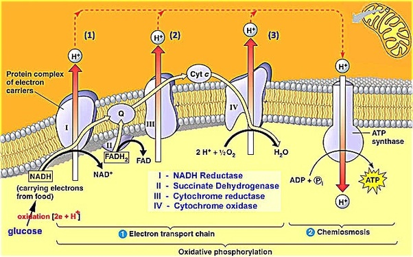 What Is Chemiosmosis And Oxidative Phosphorylation  How Do
