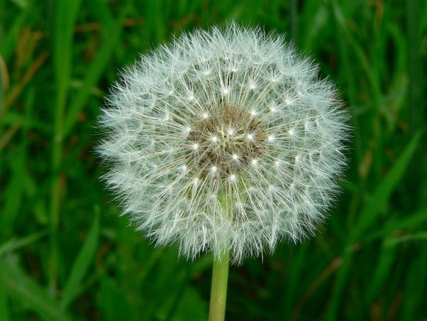 What is the difference between yellow white dandelions quora feature of this plant is the fact it recreates itself when the yellow flower petals drop out the seeds that are formed create the round white globe mightylinksfo