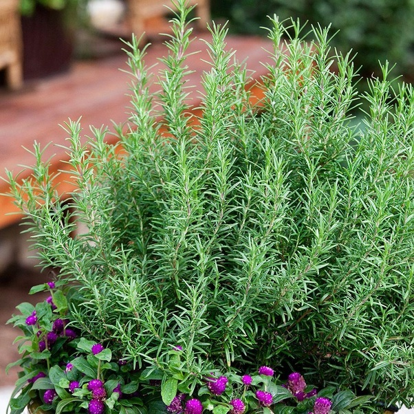 Which Is The Best Indoor Plant To Keep Mosquitoes Away