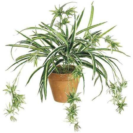 How does a spider plant reproduce asexually
