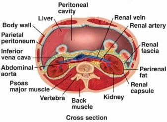 What does retroperitoneal position mean? - Quora