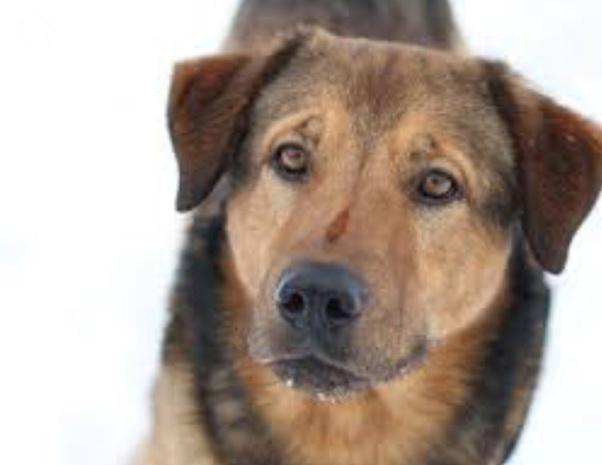 What Does A German Shepherd Rhodesian Ridgeback Mix Dog Look Like Quora