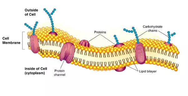 What are the components of a plasma membrane quora phosphate heads and hydrophobic water fearing hydrocarbon tails as well as attractions to one another they easily form and maintain plasma membranes ccuart Choice Image