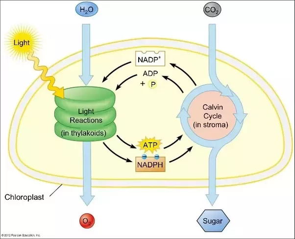 What is the light phase and dark phase reaction in a plant quora the light independent reactions are also called the calvin benson cycle the calvin cycle and the dark reactions one of ccuart Image collections