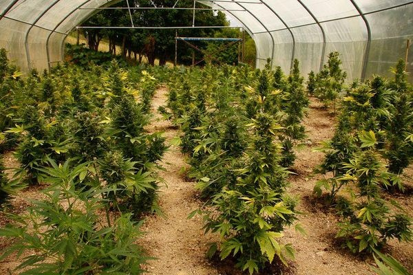 Can you make cannabis grow faster? - Quora