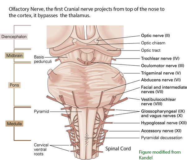 How Do The Cranial Nerves Work Quora