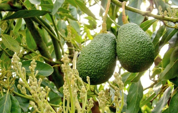 What is the Bengali meaning of avocado and kiwi? - Quora