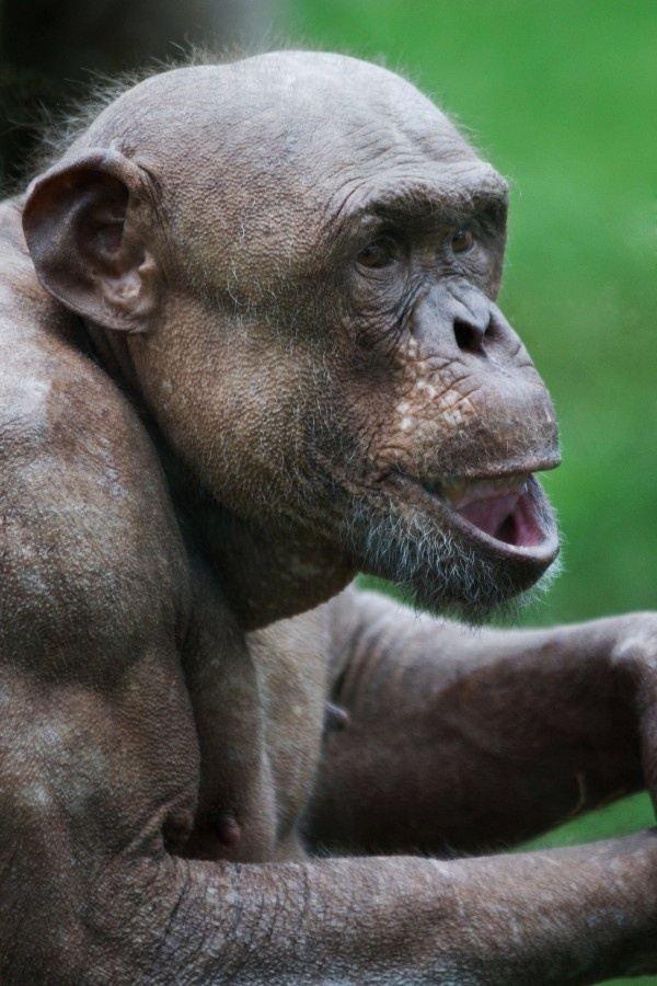 Bald chimpanzee pictures