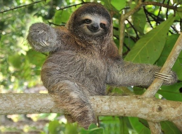 Simply Put, Sloths Have Evolved To Best Exploit Their Environment And  Increase Their Chances Of Survival.