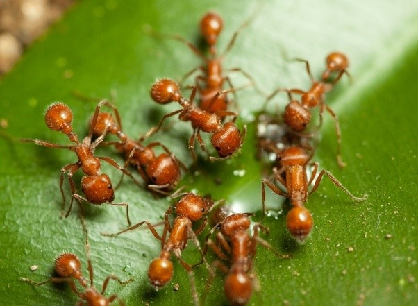Attirant There Is Also The Harvester Ant Which Is Sort Of Like The Semi Truck Of The  Red Ant Variety And Some Varieties Of Harvester Ant (Red W/ Black Abdomin)  Can ...