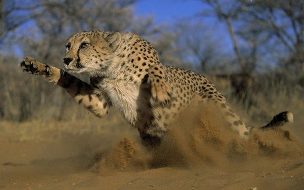 Is it true that cheetahs do not attack or eat humans? If ...