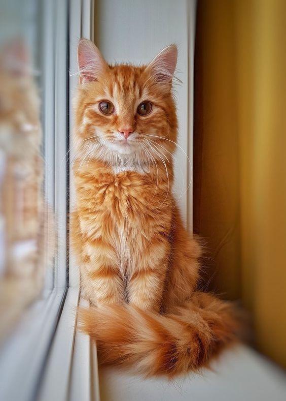 Gambar Kucing Oren Keren godean.web.id